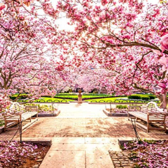 First Cherry Blossom Festival Of India Kick Starts In