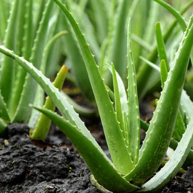 Aloe Vera is great for Immune system