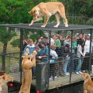 Believe it or not, Humans are caged so that animals can roam freely in Lehe Ledu Wildlife Zoo of China!