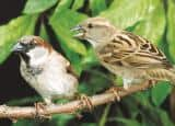 World Sparrow Day: Varieties of sparrows that are at verge of extinction
