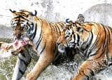 Siberian Tiger Park: A home for extinguishing Siberian Tigers in China!