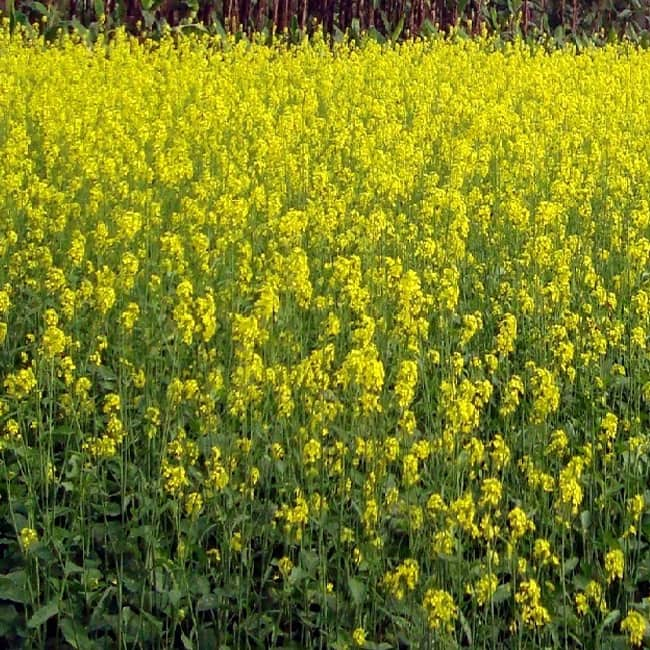 Yellow is color of Basant Panchami festival