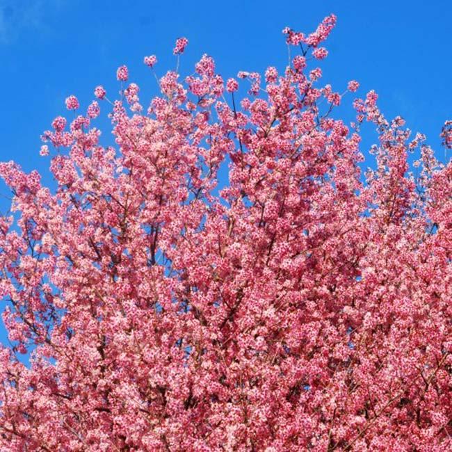 Cherry Blossom Tree In India