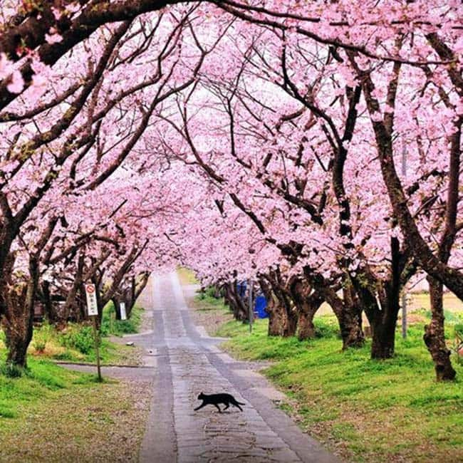 First Cherry Blossom Festival Of India Kick Starts In Shillong 7 Facts About Cherry Blossoms You Didn T Know