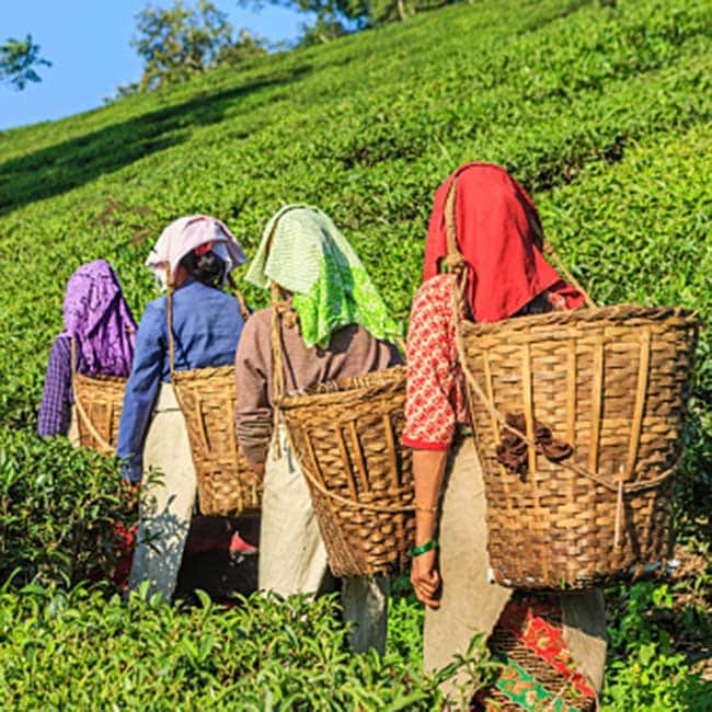 Tea of Darjeeling which you can   t miss on your July trip here